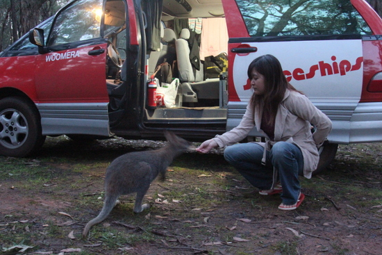 Wallaby eating food given by Susan with our accommodation in the background