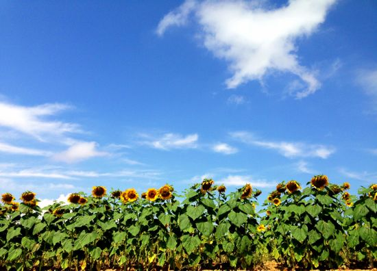 Sunflowers between Belorado and Ages
