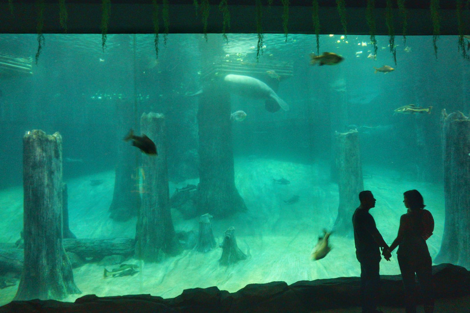 Lihat Dugong Di Amazon Flooded Forest