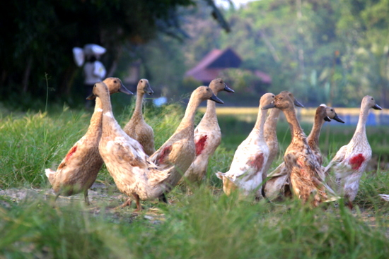 Tegal Sari ducks!