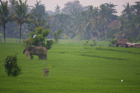 Tegal Sari rice field in Ubud