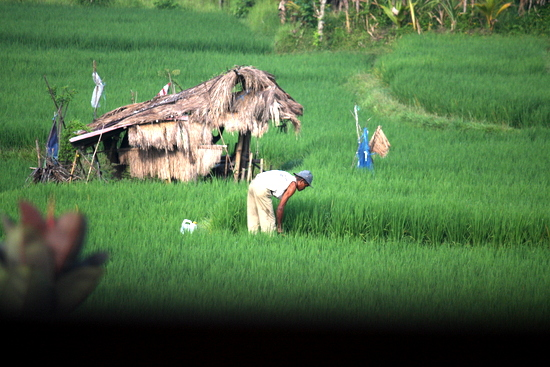 Tegal Sari Ubud farmer in the rice field