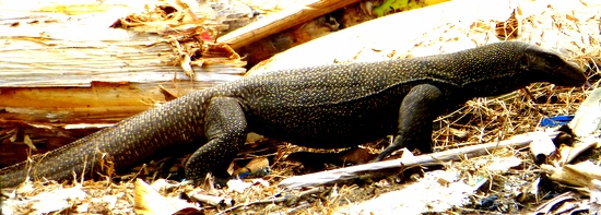 Monitor lizard at Air Batang