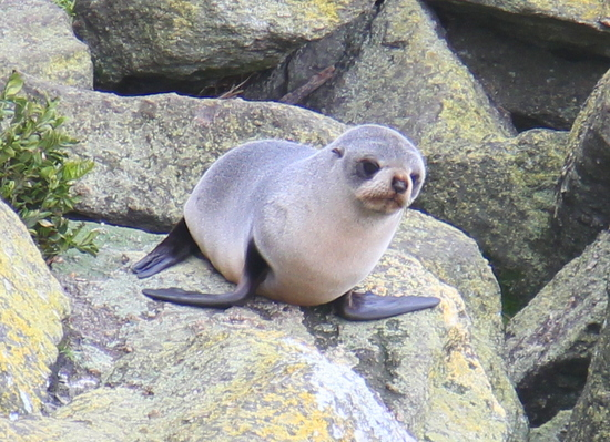 One of the seals at Cape Foulwind
