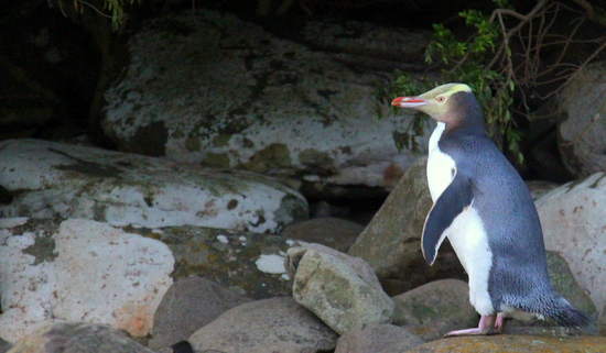 A great place to see penguins for free in New Zealand is Curio Bay