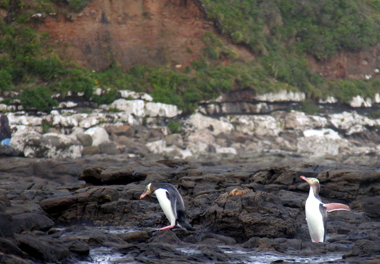 These penguins were just hopping along in nature!