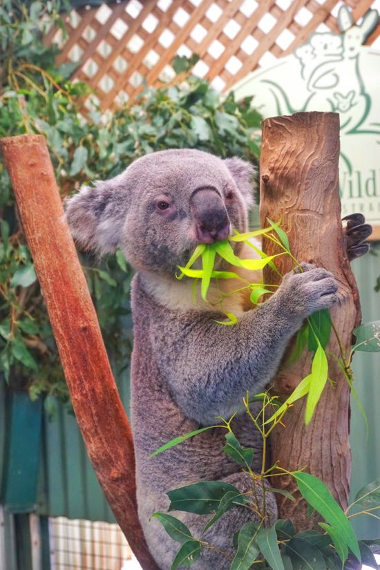Koala Bear di Featherdale