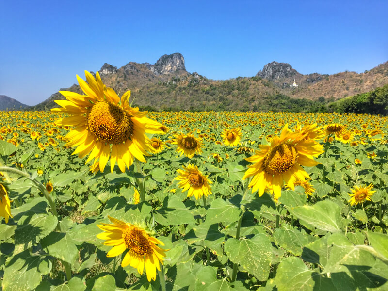 Sunflower Blooming Festival