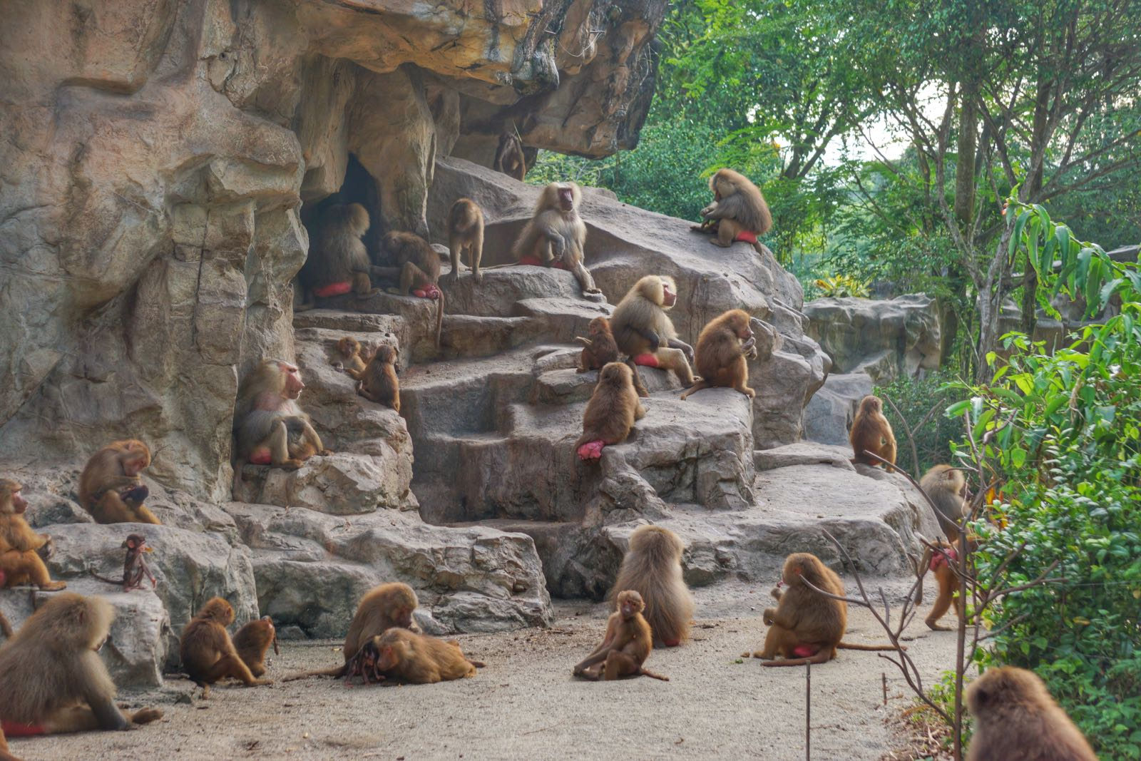 Baboon Di Singapore Zoo