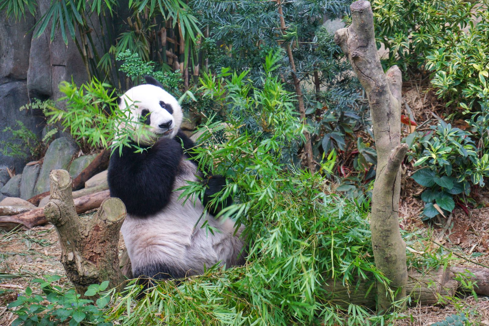 Giant Panda Di River Safari