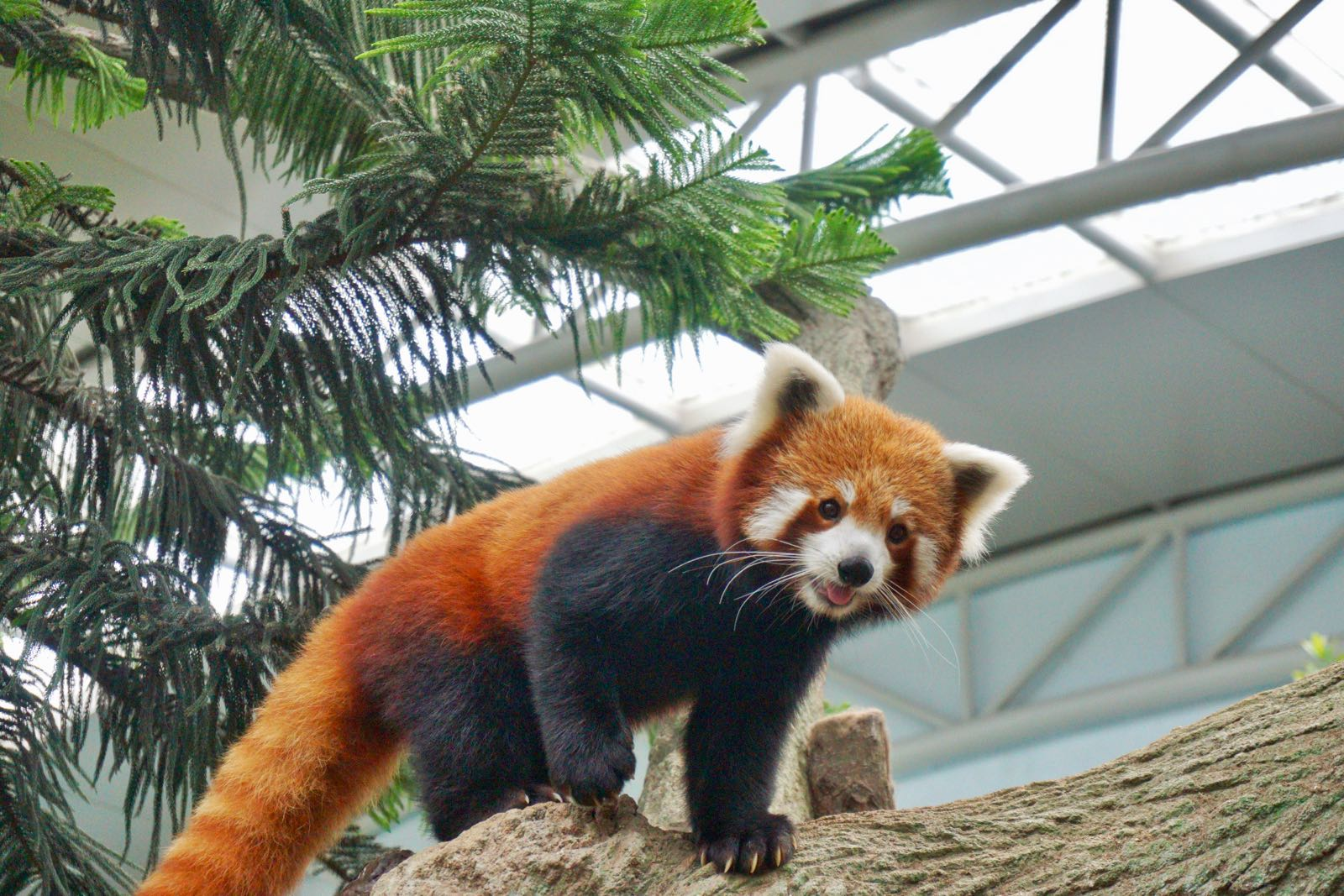 Red Panda Di River Safari