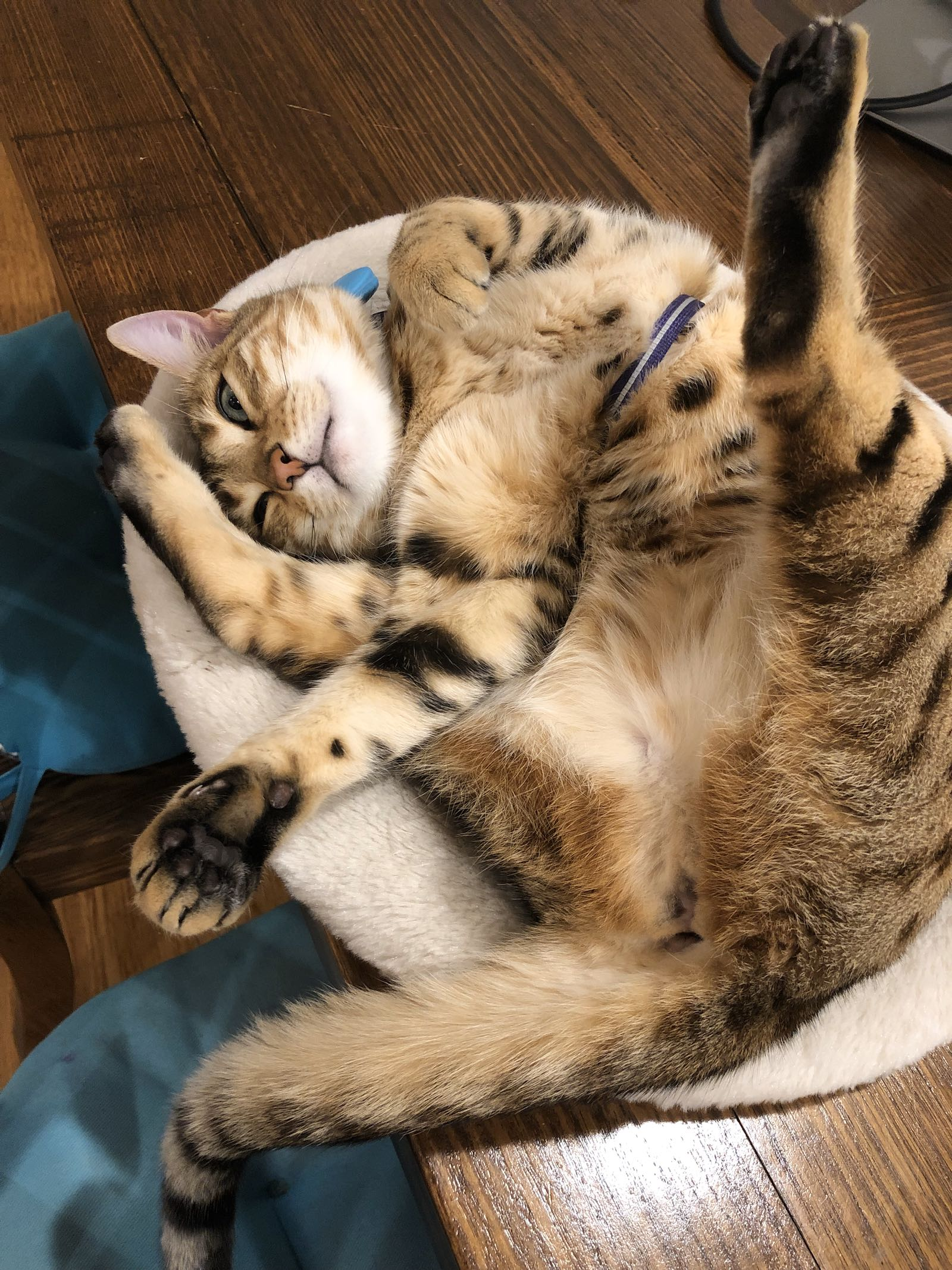 Kucing Bengal Housesit